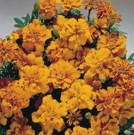 Safari Tangerine (Marigold/French)