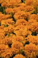 Little Hero Orange (Marigold/French)