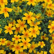 Little Giant (Marigold/mini)