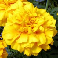 Zenith Golden Yellow (Detailed/Coated Marigold)