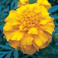 Zenith Orange (Detailed/Coated Marigold)