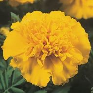 Janie Bright Yellow (Marigold/French)