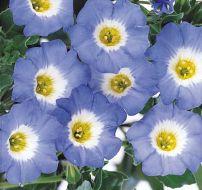 Sky Blue (Nolana)