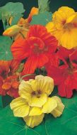 Empress Of India (Nasturtium)