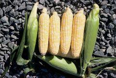 Trinity (SE corn, hybrid, bicolor)