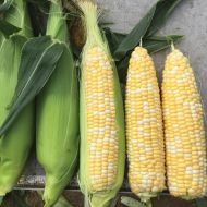 Gourmet Sweet™ Nighthawk (Corn/hybrid/bicolor)