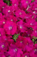 Celebrity Carmine (Petunia/multiflora/pelleted)