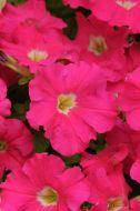 Dreams Rose (Petunia/grandiflora/pellets)