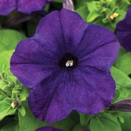 Lo Rider Blue (Petunia/multiflora/pelleted)