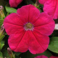 Lo Rider Pink (Petunia/multiflora/pelleted)
