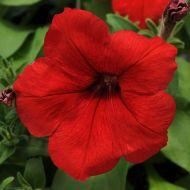 Lo Rider Red (Petunia/multiflora/pelleted)