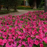 Lo Rider Rose (Petunia/multiflora/pelleted)