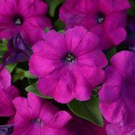 Lo Rider Violet (Petunia/multiflora/pelleted)