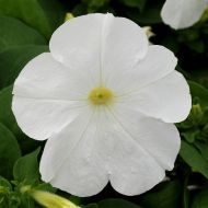 Lo Rider White (Petunia/multiflora/pelleted)