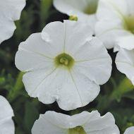Shock Wave White (Petunia/milliflora/pelleted)