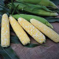 Gourmet Sweet™ Cadence XR (Corn/hybrid/bicolor)