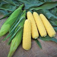 Gourmet Sweet™ Bullet XR (Corn/hybrid/yellow)