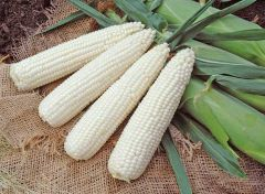 Gourmet Sweet™ Brand Resolve VX (Corn/hybrid/white)