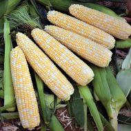 Gourmet Sweet™ Expedition XR  (Corn/hybrid/bicolor)