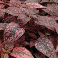Splash Select™ Red  (Polka Dot Plant)