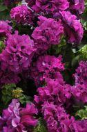 Double Cascade Burgundy (Petunia/double/pelleted)