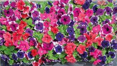 Limbo GP Picotee Mix (Petunia/grandiflora/pelleted)