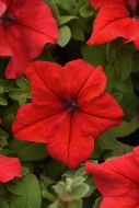 Supercascade Red (Petunia/grandiflora/pelleted)
