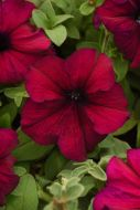 Supercascade Burgundy (Petunia/grandiflora/pelleted)