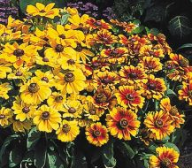 Gloriosa Daisy Mixed (Rudbeckia)