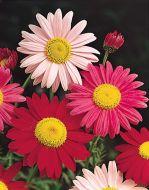 Robinson's Giant Single Mix (Chrysanthemum)