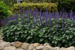 Big Blue (Salvia)