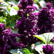 Mojave™ Purple (Salvia/dwarf)