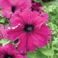Frillytunia® Burgundy (Petunia/grandiflora)