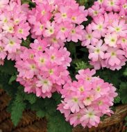 Tuscany Pink Picotee (Verbena)