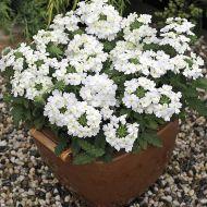 Tuscany White (Verbena/primed)