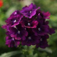 Quartz XP Purple (Verbena/primed)