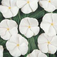Pacifica White (Vinca)
