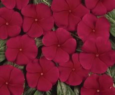 Pacifica Red (Vinca)