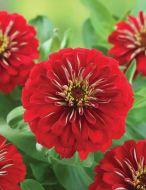 Preciosa Red (Zinnia)
