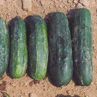 Jackson Supreme (Cucumber/pickling)