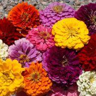 Giant Dahlia Flowered Mix (Zinnia)