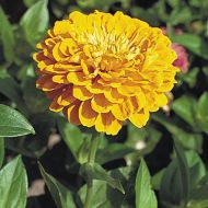 Benary's Giant Golden Yellow (Zinnia)