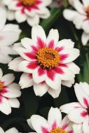 Zahara Starlight Rose (Zinnia/dwarf/single)