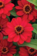 Zahara Raspberry (Zinnia/dwarf/single)