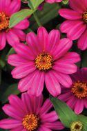 Zahara Pink (Zinnia/tall)