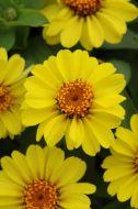 Zahara Yellow (Zinnia/tall)