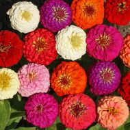 Lilliput or Pompon Finest Mix Colors (Zinnia)