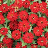 Profusion Double Red (Zinnia)