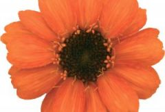 Profusion Orange (Zinnia)