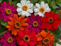 Profusion™ AAS Mix (Zinnia)